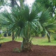 Dwarf Palmetto 5 Seeds (Sabal Minor) Small and very cold hardy palm